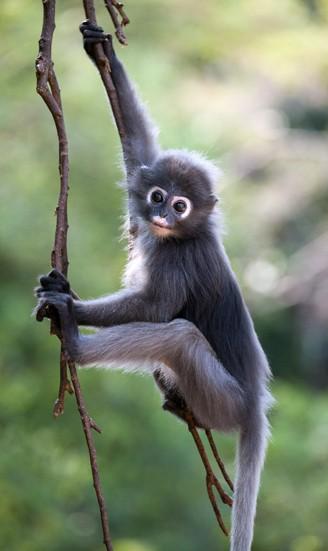 Dusky Leaf Monkey climbing