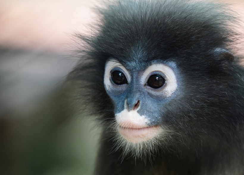Closeup head dusky leaf monkey