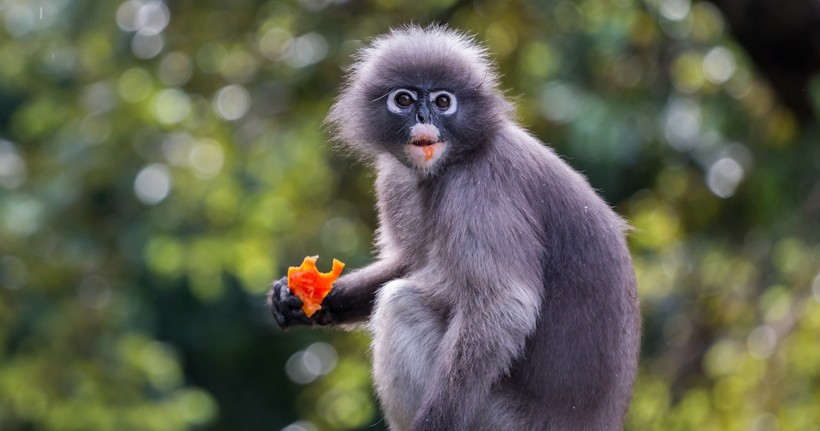 Spectacled langur eating a soft fruit