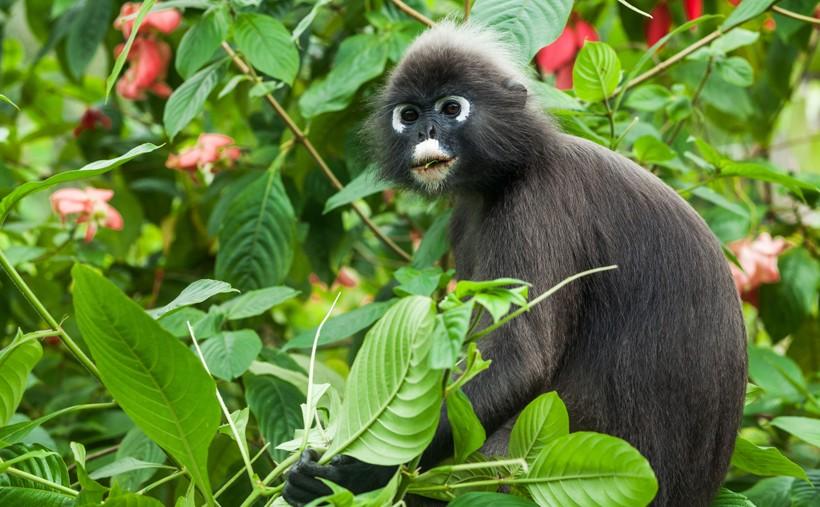 Dusky leaf monkey eating leaves