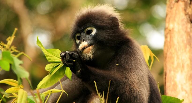 Dusky leaf monkey eating leaves in a tree