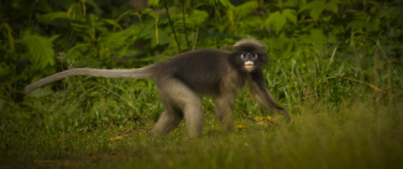Dusky leaf monkey walking on ground tropical rainforest