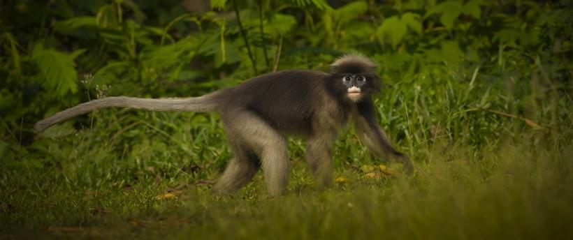 Dusky leaf monkey walking on ground tropical rainforest