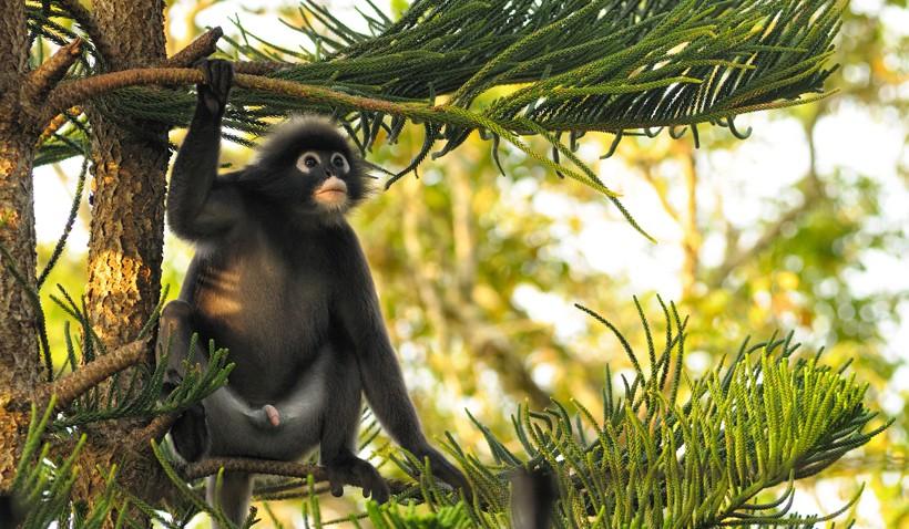 Dusky leaf monkey in conifer looking