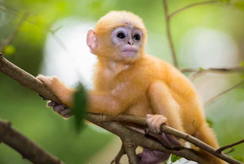 Orange newborn dusky leaf monkey on branch