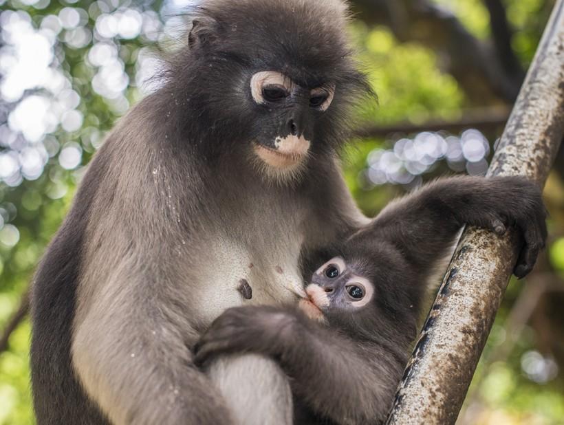 Mother dusky leaf monkey weans child