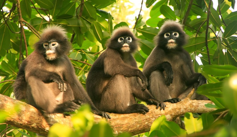 3 Dusky leaf monkeys sitting on a tree