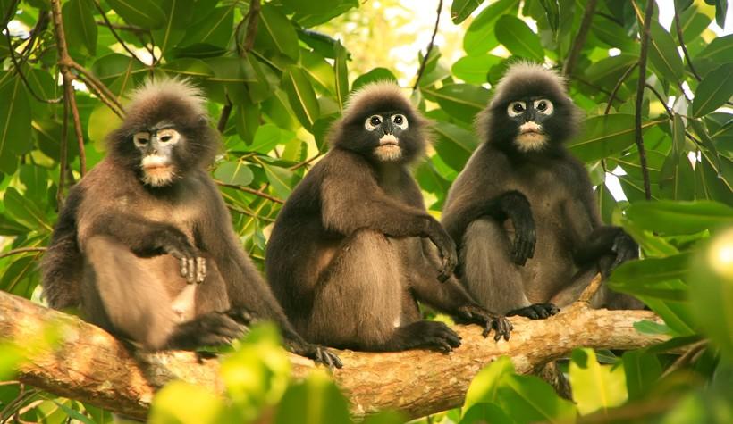 3 Dusky leaf monkeys sitting on a tree