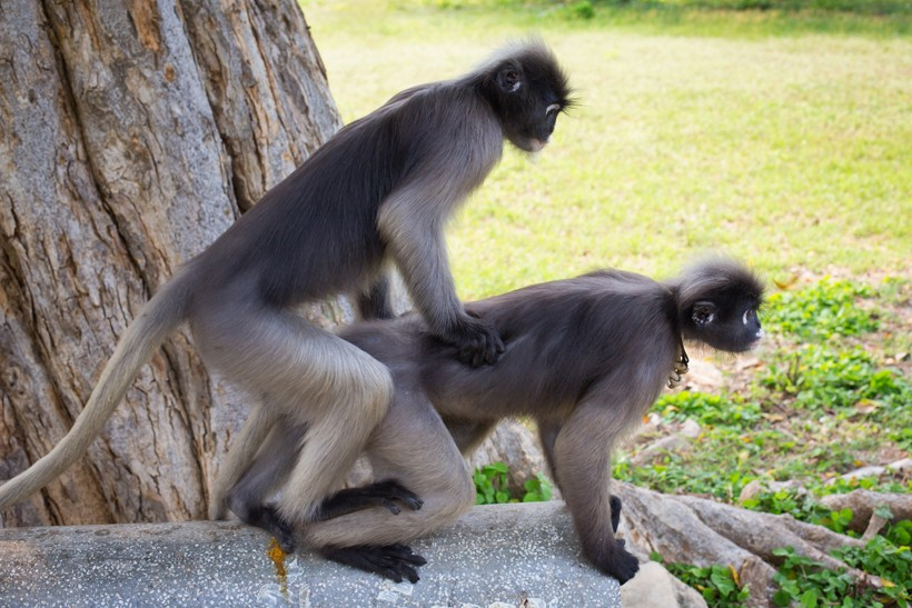 Dusky leaf monkeys mating