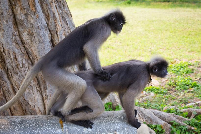Dusky leaf monkeys mating
