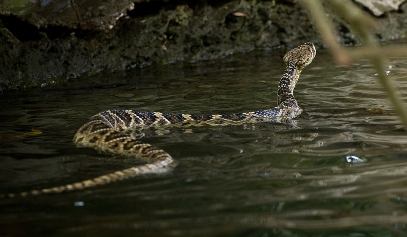 Diamondback swimming in water