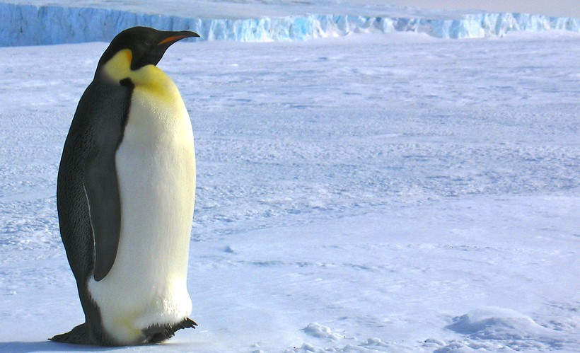 Emperor Penguin adult