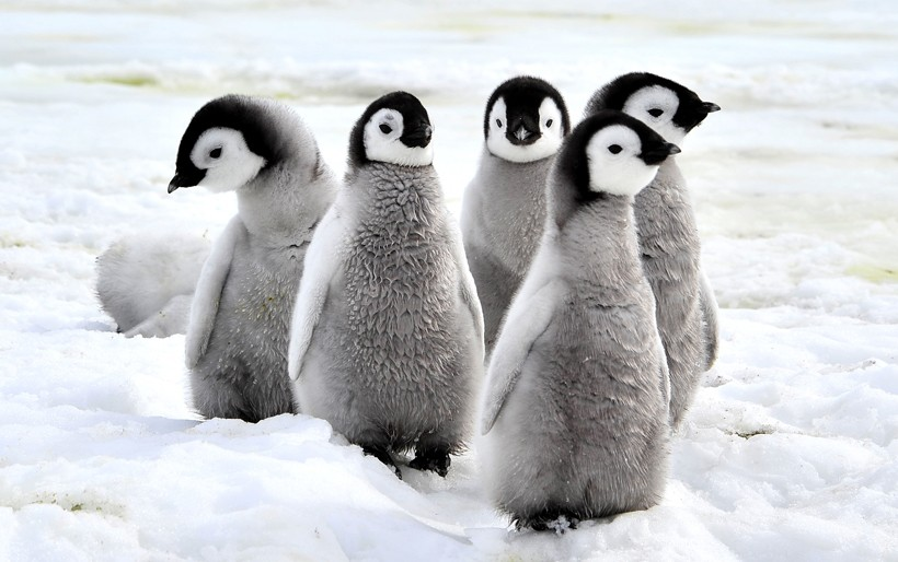 Emperor Penguin chicks on the snow, Antarctica