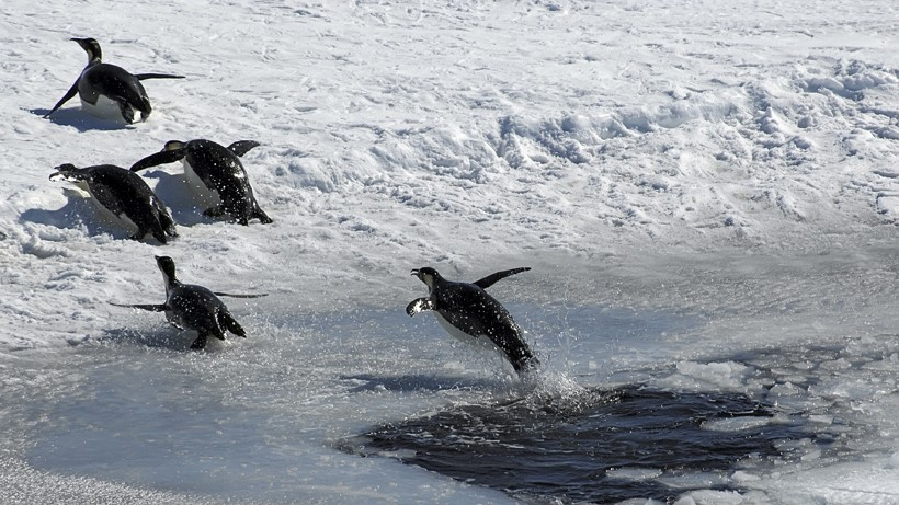 Emperor Penguin jumping out of an ice hole