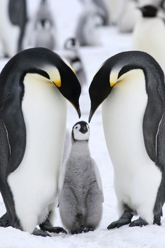Emperor Penguin, parents with chick
