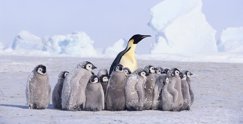 Young Emperor Penguins clustered around adult