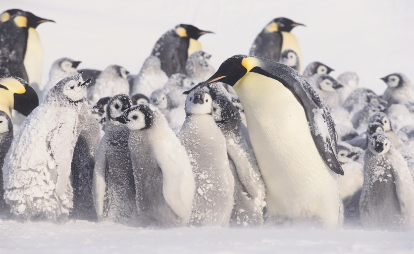 Emperor Penguin chicks in a blizzard