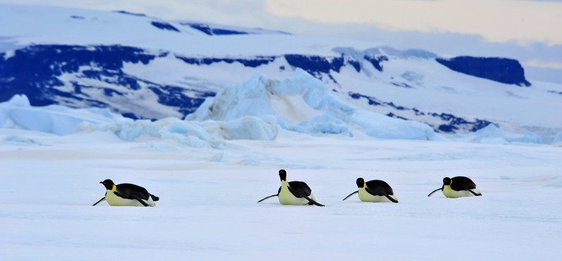 Emperor Penguins sliding over the snow