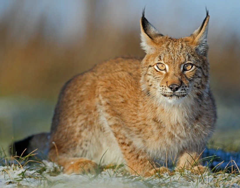 Eurasian lynx sitting and staring
