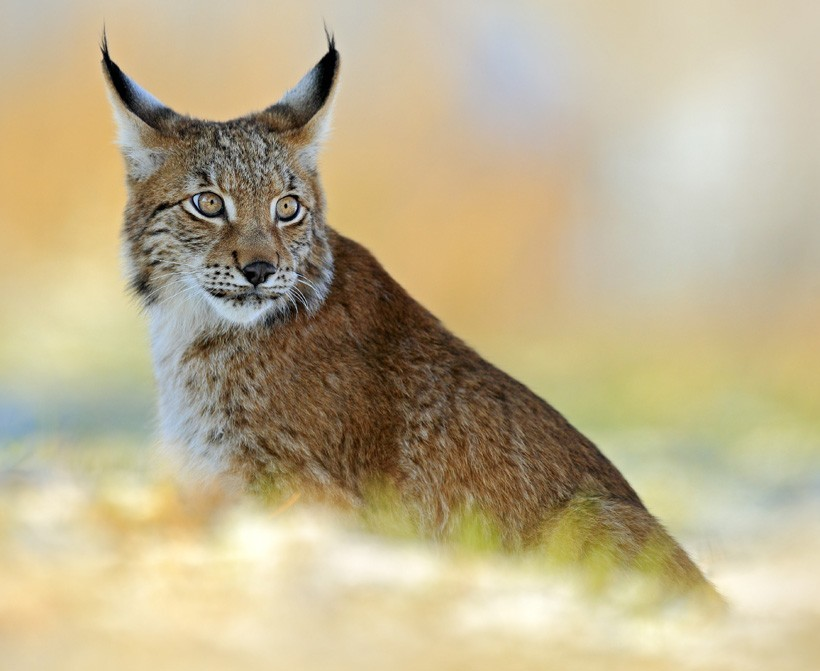 Eurasian Lynx on snow meadow in winter