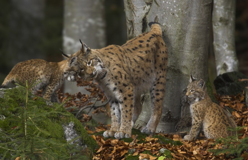 Eurasian lynx mother with kittens