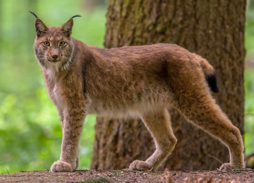 Eurasian lynx standing in the forest