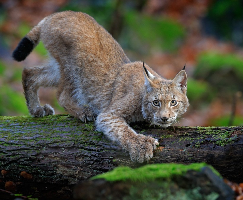Eurasian lynx on the hunt in a forest