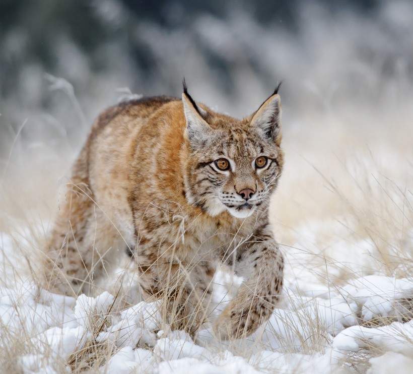 Eurasian lynx walking in the snow