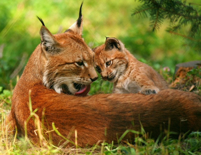 Eurasian Lynx, mother with cub