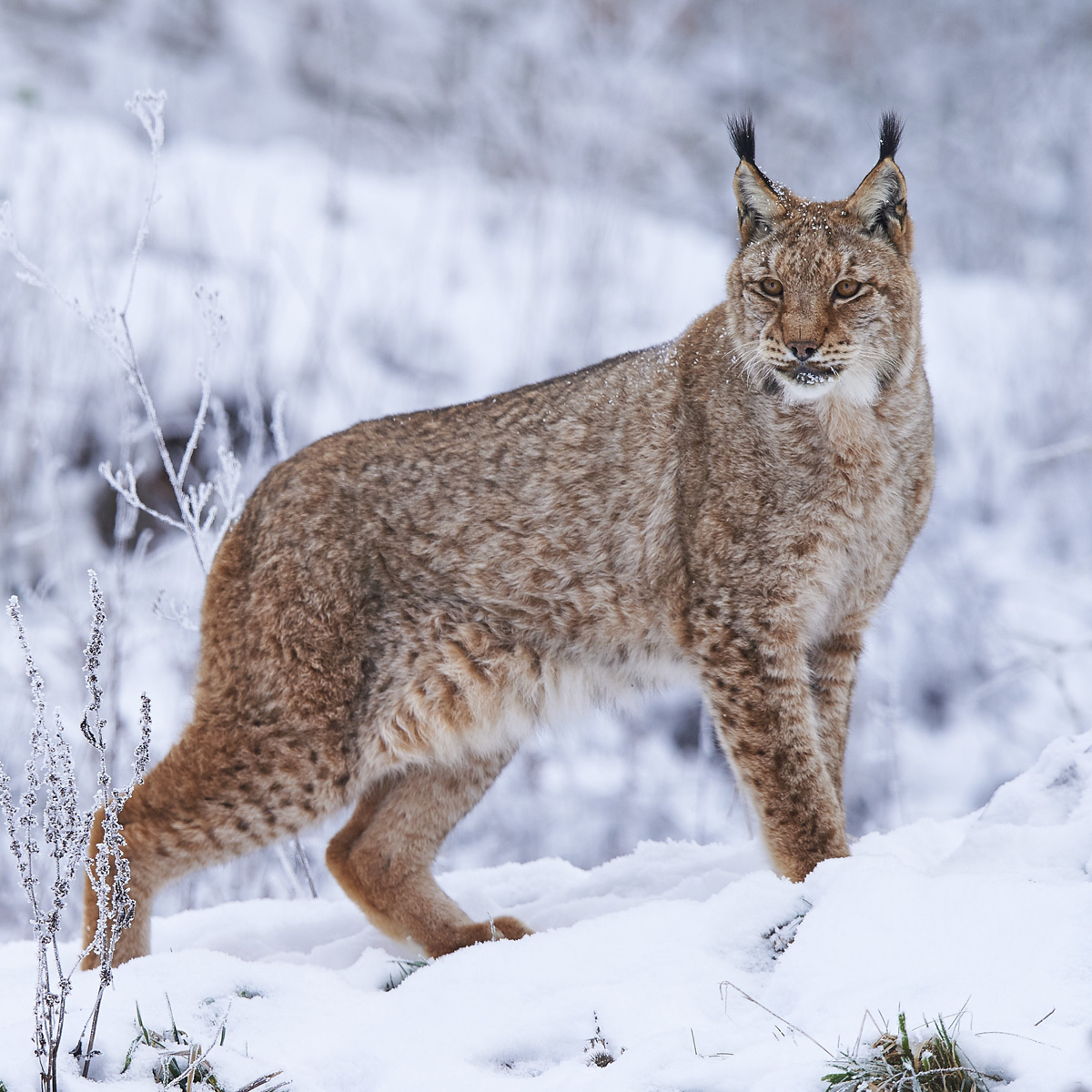 what is the lynx diet