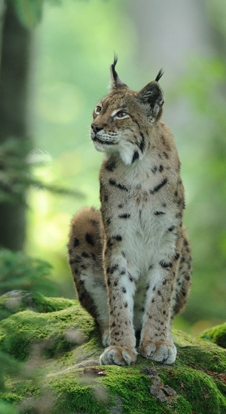 Eurasian lynx sitting on a rock