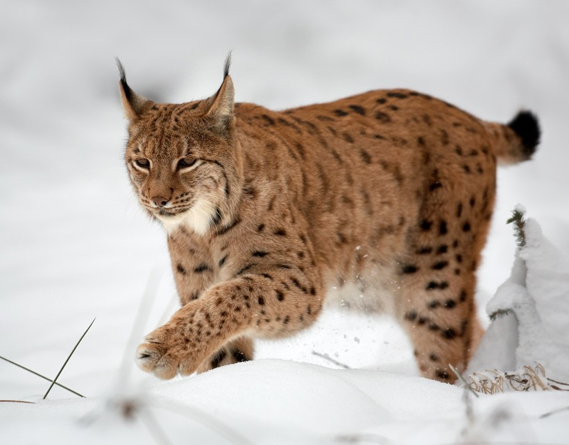 Eurasian lynx walking on a snowy ground
