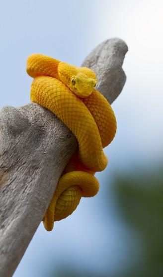 Yellow eyelash viper around a stump