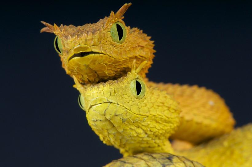 Closeup of two eyelash viper heads