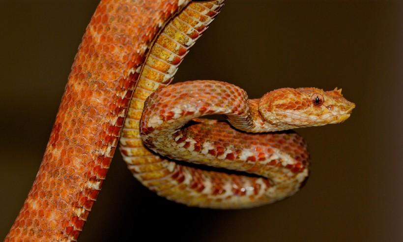 Red-gold eyelash viper