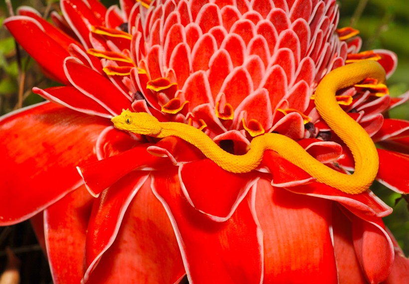 Yellow Eyelash viper on a red flower