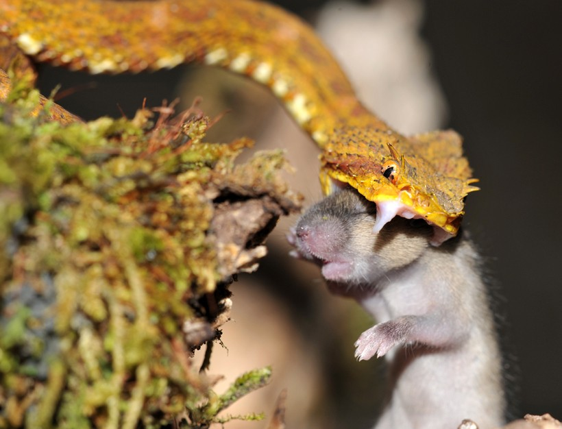 Eyelash viper strikes a mouse
