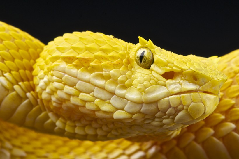 Closeup Yellow Eyelash viper