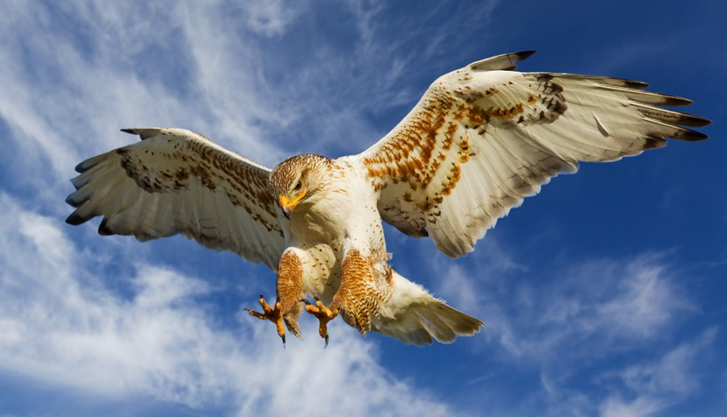 Ferruginous hawk attacking from the air