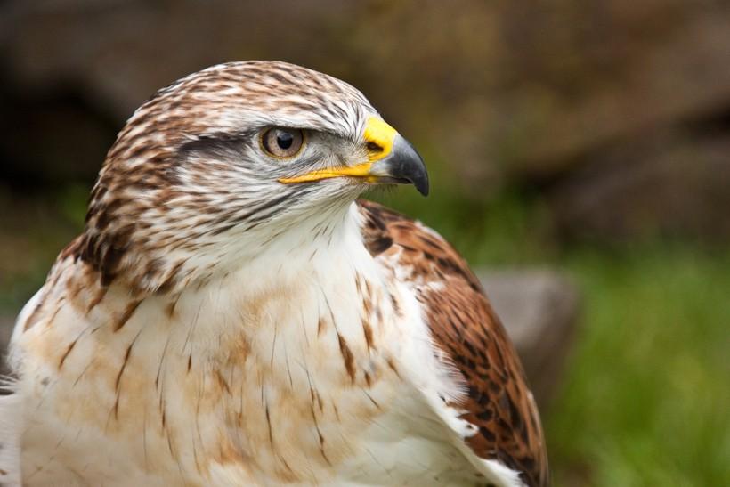 Closeup head Ferruginous Hawk, the heaviest hawk of the world