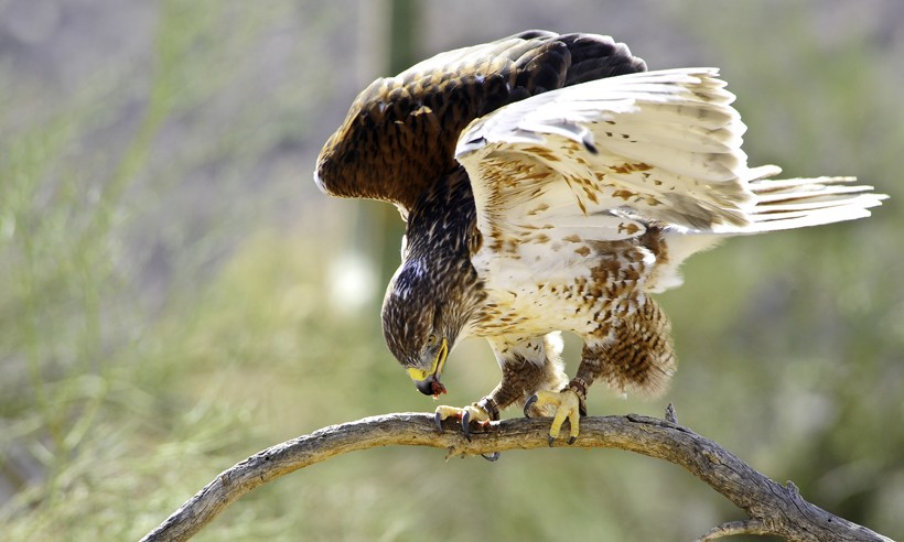 Ferruginous hawk eating on a branch