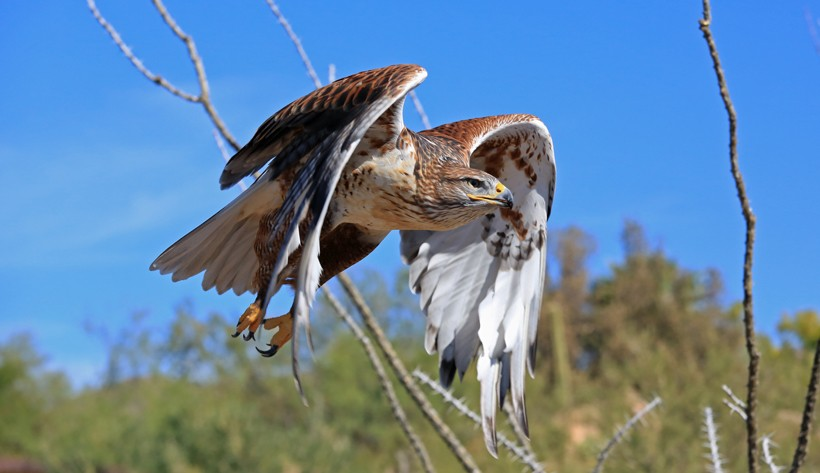 Ferruginous hawk in the flight