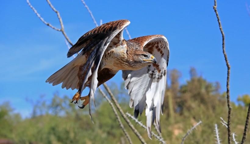 Ferruginous hawk in the flight