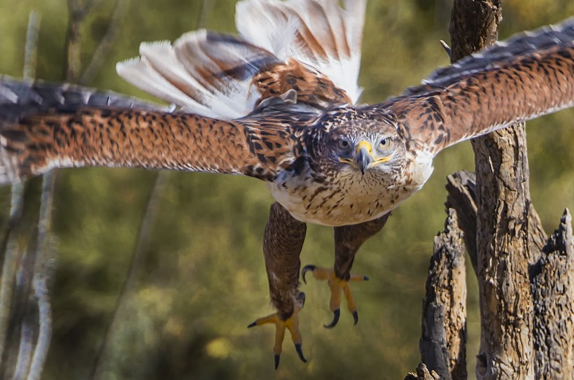 Ferruginous hawk flying, Tucson Arizona