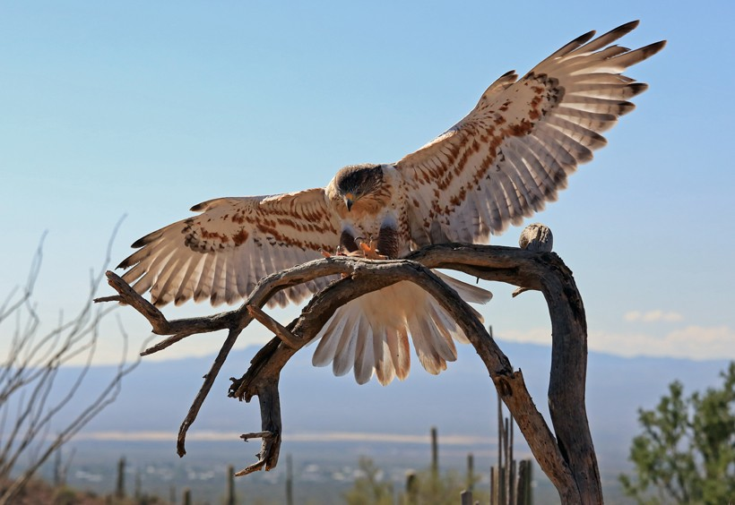 Ferruginous hawk wingspan 1.5 meters