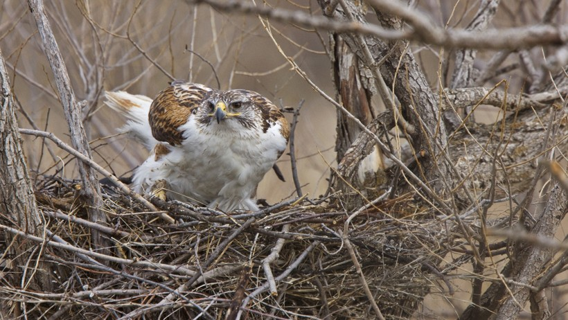 Ferruginous Hawk standing in the nest