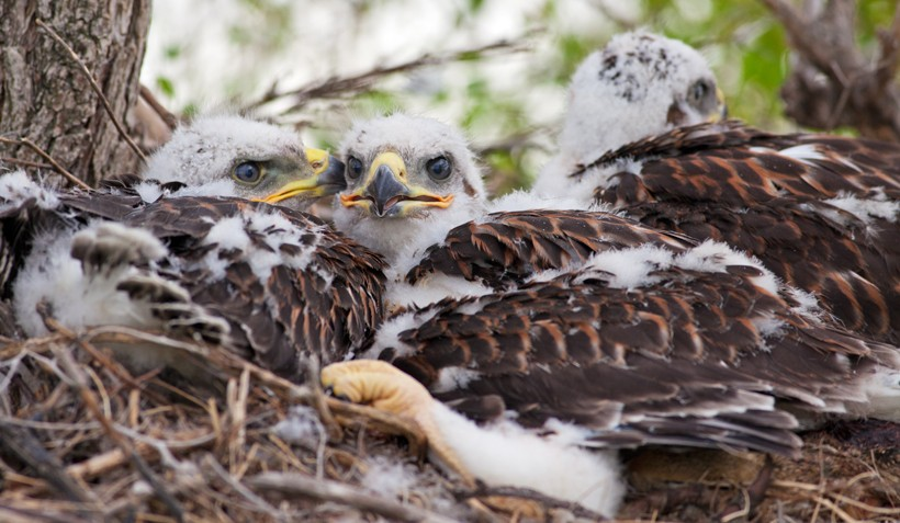 3 Ferruginous hawk newborns in a nest