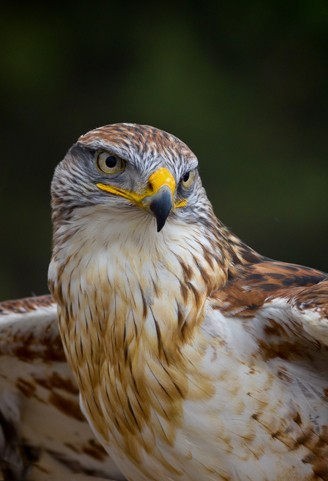 Portrait of the Ferruginous Hawk