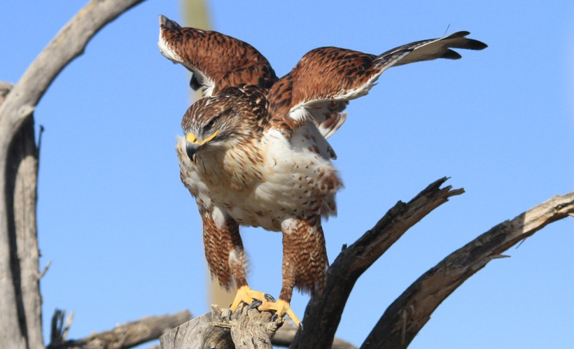 Ferruginous hawk ready to fly