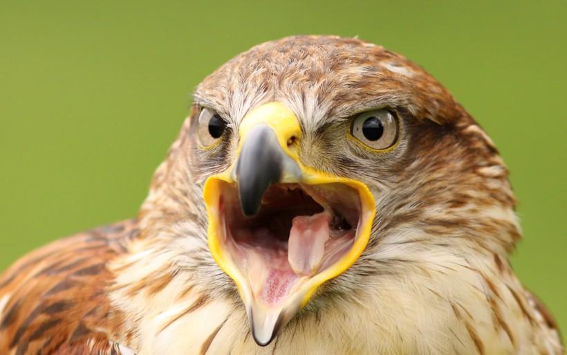 Ferruginous hawk screaming